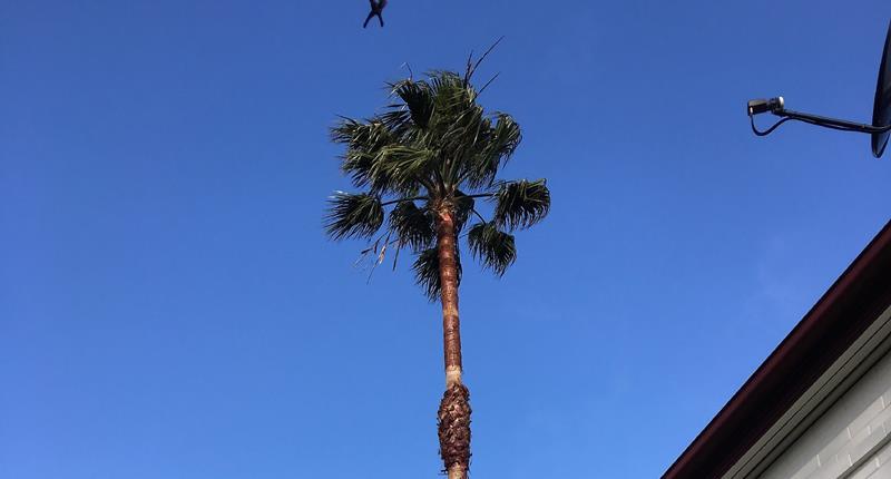 palm-tree-pruning-adelaide